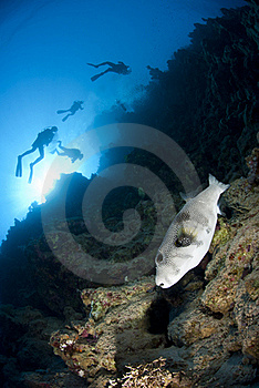 Whitespotted Pufferfish And Scuba Divers. Royalty Free Stock Photos - Image: 16750138