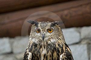 Eagle Owl ( Bubo Bubo ) Royalty Free Stock Photo - Image: 16750925