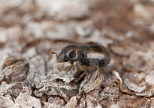 Extreme Close-up Of A Bark Borer Royalty Free Stock Images - Image: 16753939