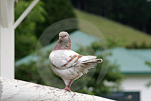 Modena Pigeon Stock Images - Image: 16757614