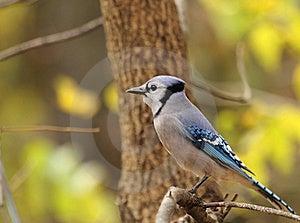 Blue Jay, Cyanocitta Cristata Stock Photography - Image: 16759742