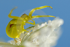 Crab Spider Royalty Free Stock Image - Image: 16760236