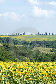 Sunflower Field Royalty Free Stock Image - Image: 16760866