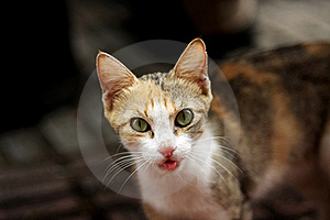 Feral Kitten Tongue Royalty Free Stock Photo - Image: 16763025