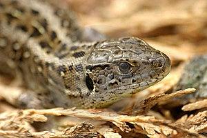 Lizard Stock Image - Image: 16765091