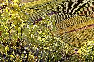 Vineyard - The Autumn Season Royalty Free Stock Image - Image: 16766226