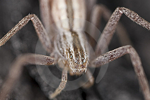 Hunting Spider Camouflaged On Wood Royalty Free Stock Photography - Image: 16766317