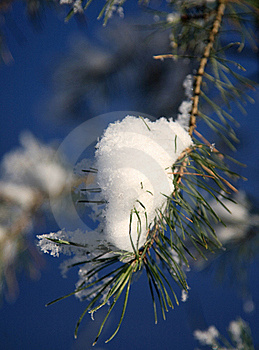Frost On Pine Royalty Free Stock Image - Image: 16775976