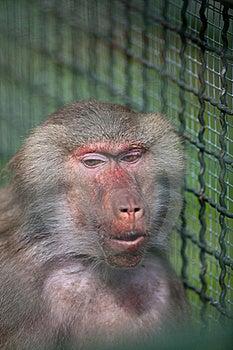 Baboon (Simia Hamadrya) Royalty Free Stock Photography - Image: 16777227