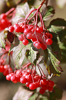 Viburnum Branches Outdoor Stock Image - Image: 16779181