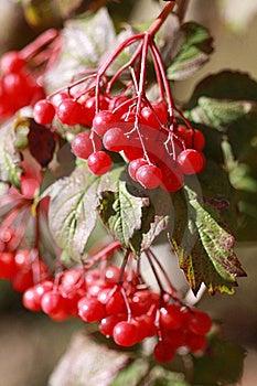 Viburnum Branches Outdoor Stock Image - Image: 16779181