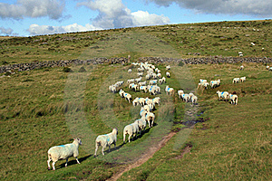 Sheep Being Herded On Dartmoor Near Littaford Tors Royalty Free Stock Image - Image: 16779226