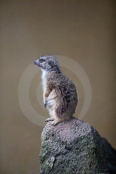 Watchful Meerkat Standing Guard Stock Image - Image: 16779521