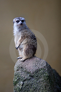 Watchful Meerkat Standing Guard Stock Image - Image: 16779591