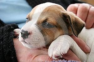 Sleepy Puppy Stock Image - Image: 16780281