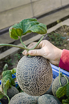 Pick The Best Melon Stock Images - Image: 16780864