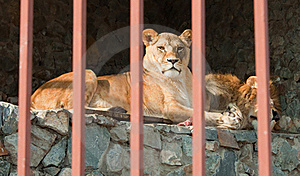 Pair Of Lions Lying Behind The Bars. Stock Images - Image: 16781614