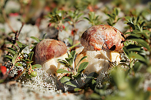 Cep In Nature Royalty Free Stock Image - Image: 16781696