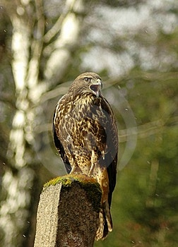 Buteo Buteo Stock Photography - Image: 16783212