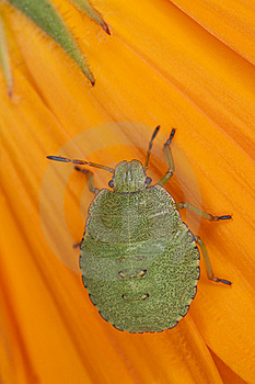 Green Shield Bug Nymph Royalty Free Stock Photos - Image: 16783848