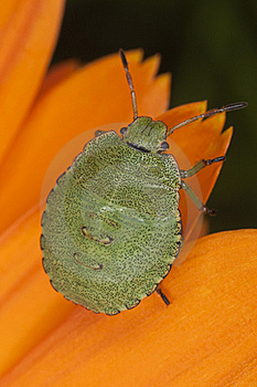 Green Shield Bug Nymph Royalty Free Stock Photos - Image: 16783898