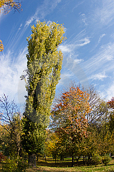Autumn Poplar Tree Stock Photography - Image: 16784912
