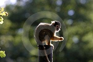 Ape Stock Image - Image: 1687411
