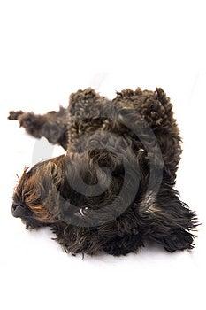 Spanish Waterdog On Its Back Stock Photo - Image: 1688920