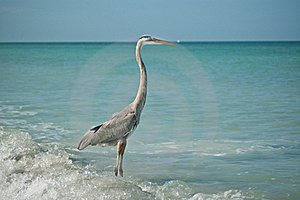 Great Blue Heron Standing On A Gulf Coast Beach Royalty Free Stock Image - Image: 16806106