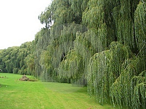 Weeping Willows Stock Image - Image: 16816741