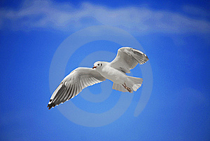 Seagull Royalty Free Stock Photos - Image: 16817028