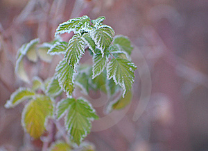 Raspberry Leaves Covered With Frost Royalty Free Stock Photography - Image: 16817157