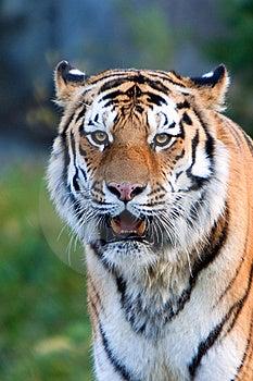 A Rare Endangered Siberian Tiger Resting. Stock Photos - Image: 16818763