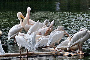 Pelicans On Lake Stock Photos - Image: 16818983