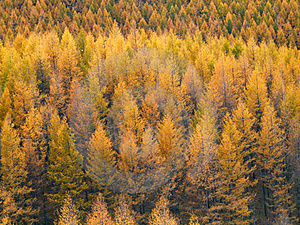 Gold Forest In Autumn Royalty Free Stock Photography - Image: 16820847