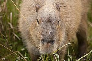 Capybara Snout Royalty Free Stock Image - Image: 16827646