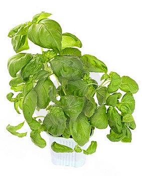 Fresh Green Basil Plant Royalty Free Stock Photos - Image: 16831968