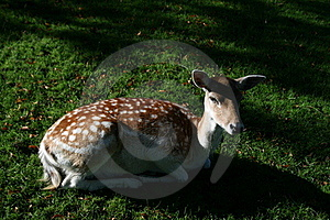 Spotted Deer Royalty Free Stock Images - Image: 16834029