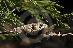 Sand Lizard 1 Stock Photo - Image: 16841460