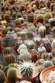Cactus Plants Royalty Free Stock Photos - Image: 16847128