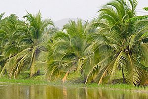 Coconut Tree Royalty Free Stock Photography - Image: 16848127