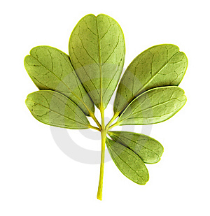 Green Leaf Royalty Free Stock Photography - Image: 16850447