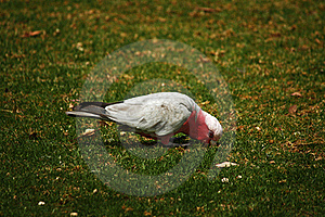 Pink And Grey Galah Stock Photos - Image: 16853243