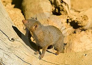 Mongoose Royalty Free Stock Photography - Image: 16853377
