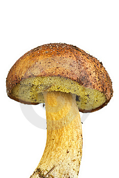 Closeup Shot Of Boletus Badius Mushroom Royalty Free Stock Images - Image: 16856369