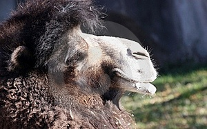 Camel Close-up Stock Images - Image: 16856664