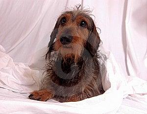 Dachshund/Weenerdog Stock Image - Image: 16856891