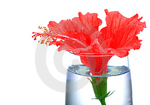 Red Hibiscus Flower Royalty Free Stock Image - Image: 16858196