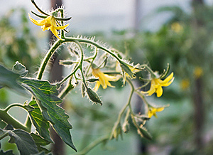 Tomato Stock Photography - Image: 16876382