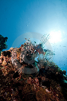 Lionfish In The Red Sea. Royalty Free Stock Photos - Image: 16878708
